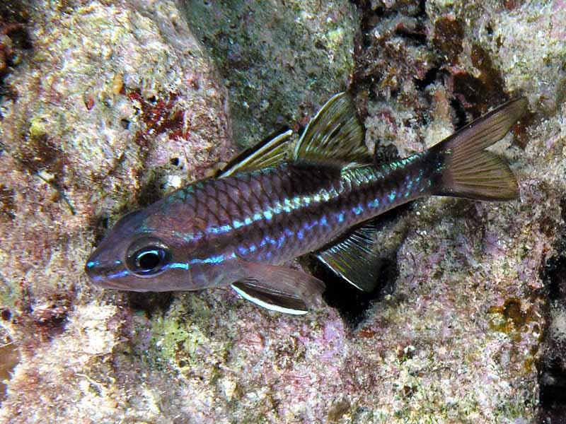 Ryby apogonowate (Apogonidae)