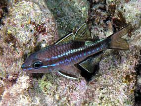 ryby apogonowate