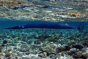 ryby belonowate