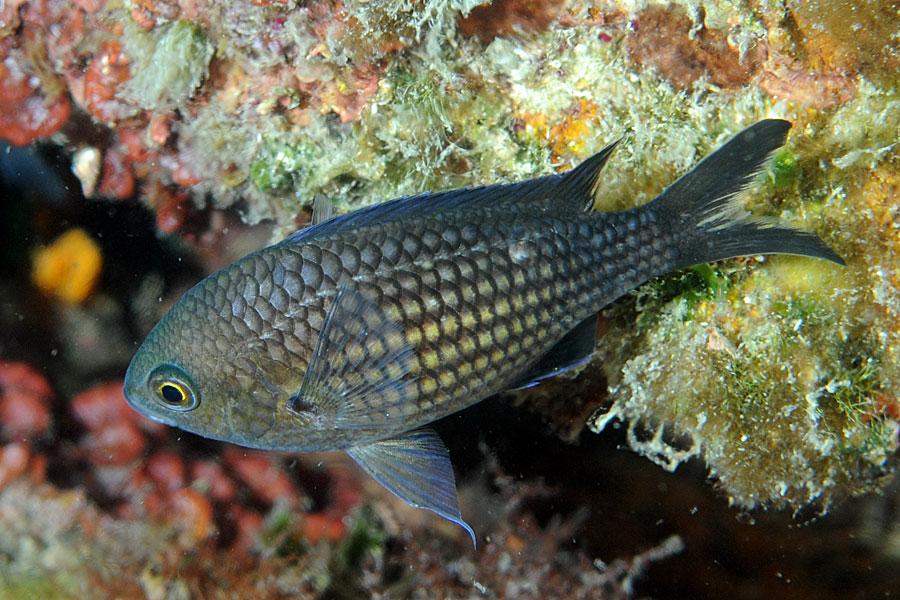 Ryby Chromis kasztanowy (Chromis chromis)