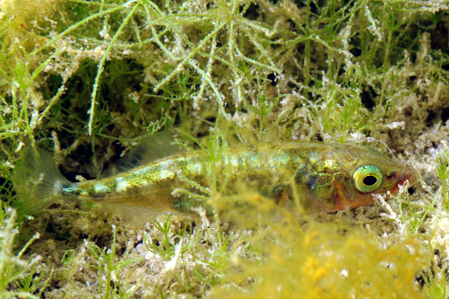 Ciernik (Gasterosteus aculeatus)