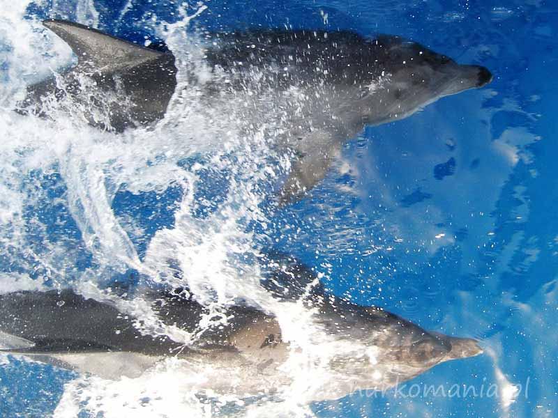 Delfin (Delphinus)