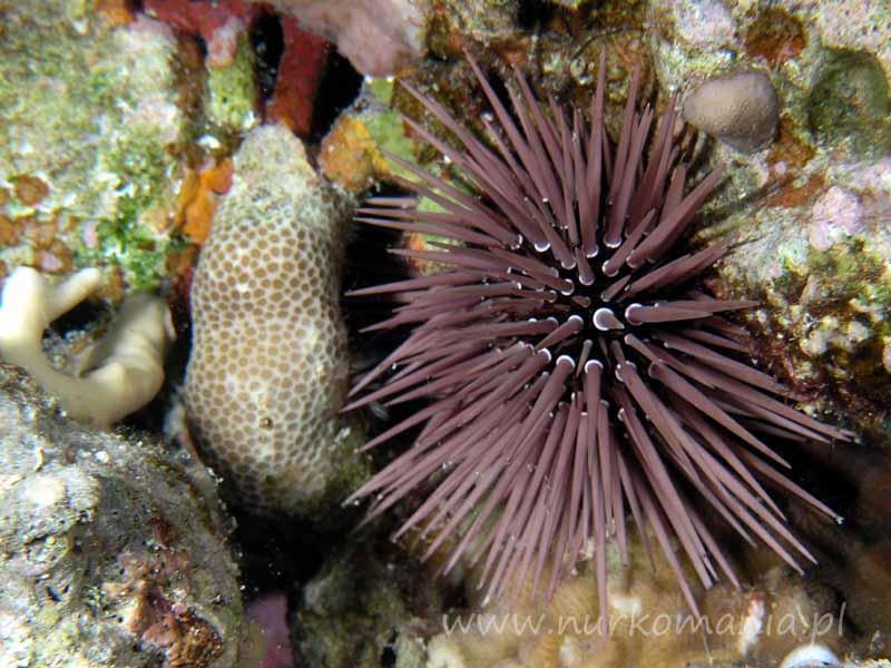 Jeżowce (Echinoidea)