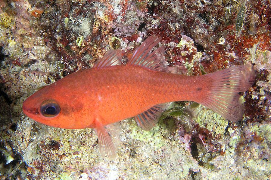 Ryby Kardynałek (Apogon imberbis)