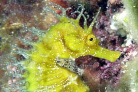 Konik morski (Hippocampus hippocampus)
