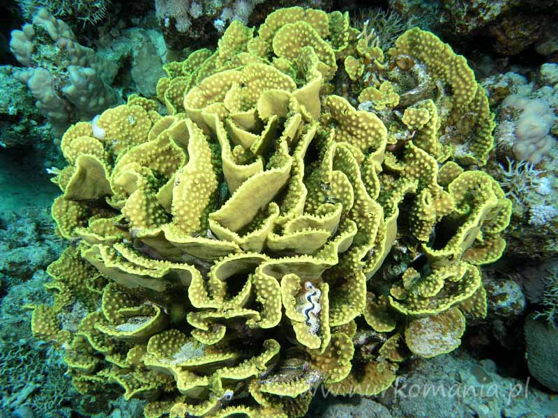 Cup corals  (Dendrophyllidae)