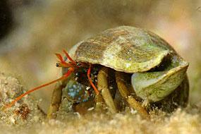Kraby pustelniki (Paguroidea)