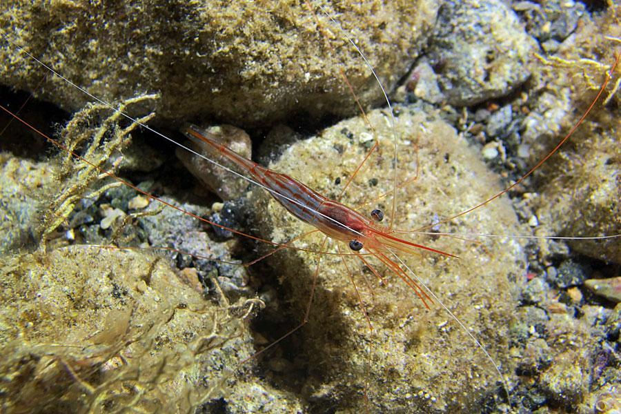 Krewetka pasiasta (Plesionika narval)