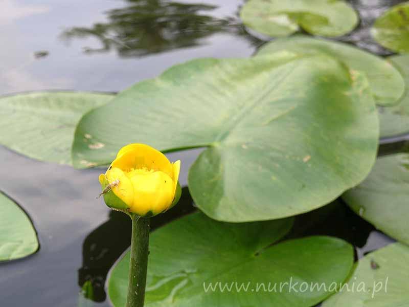 Grążel żółty (Nuphar luteum)
