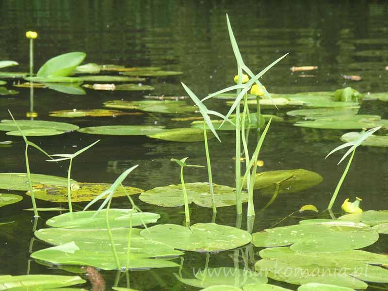 Strzałka wodna (sagittaria sagittifolia)