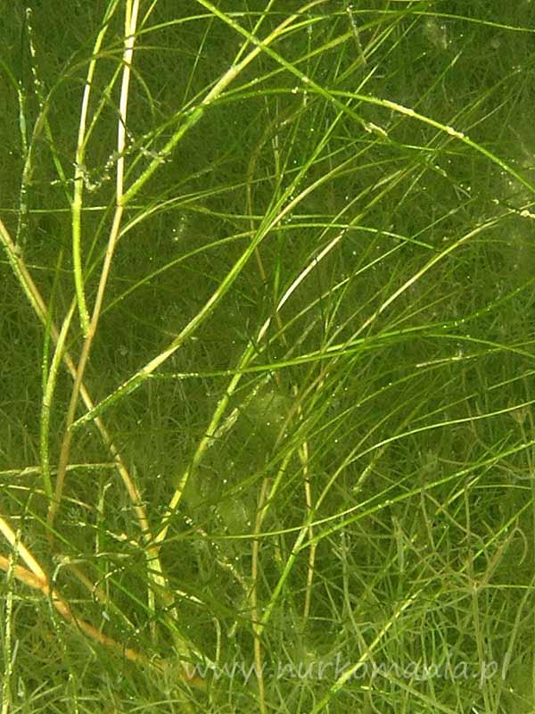 Rdestnica nitkowata (Potamogeton filiformis)