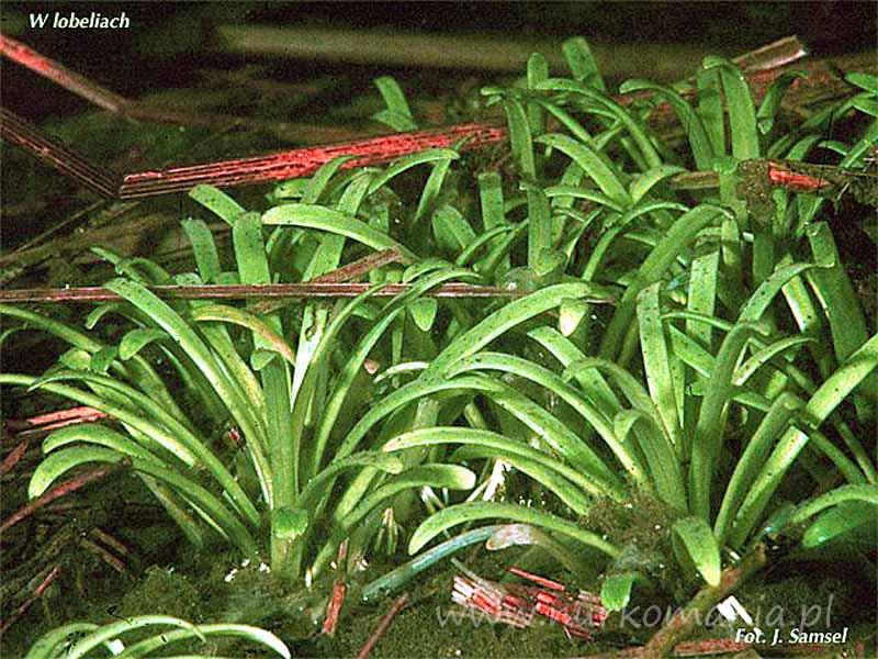 Lobelia jeziorna (Lobelia dortmanna)