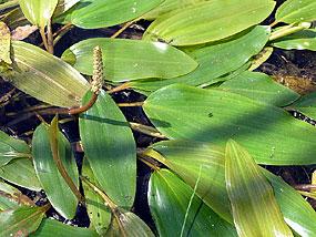 Rdestnica pływająca (potamogeton natans)