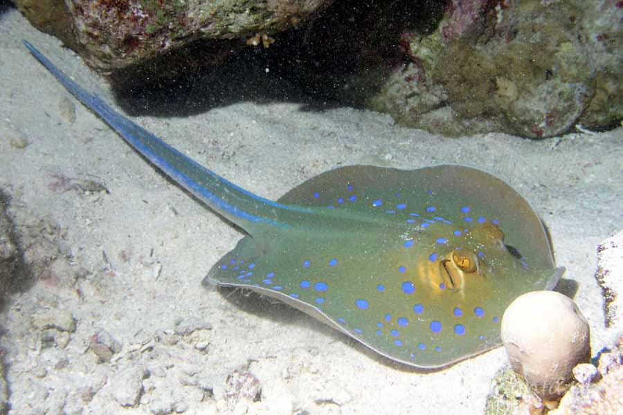 Ryby ogończowate (Dasyatidae)