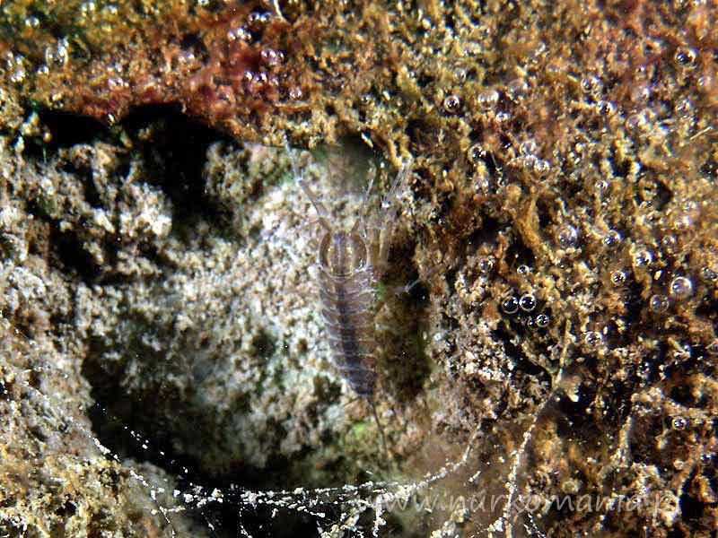 Ośliczka wodna (Asellus aquaticus)