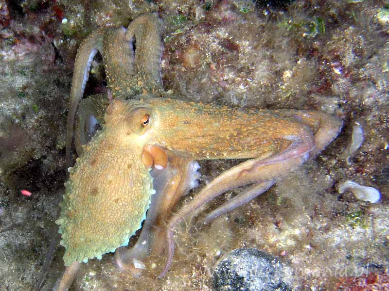 Ośmiornica (Octopoda)