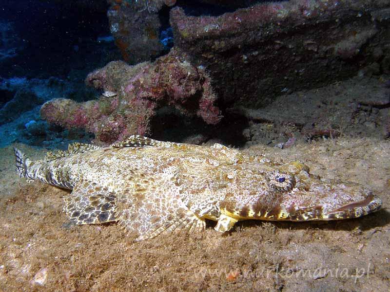 Ryby płaskogłowate (Platycephalidae)