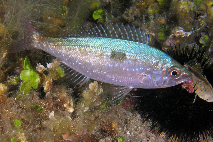 Ryby Pysoń (Spicara maena)