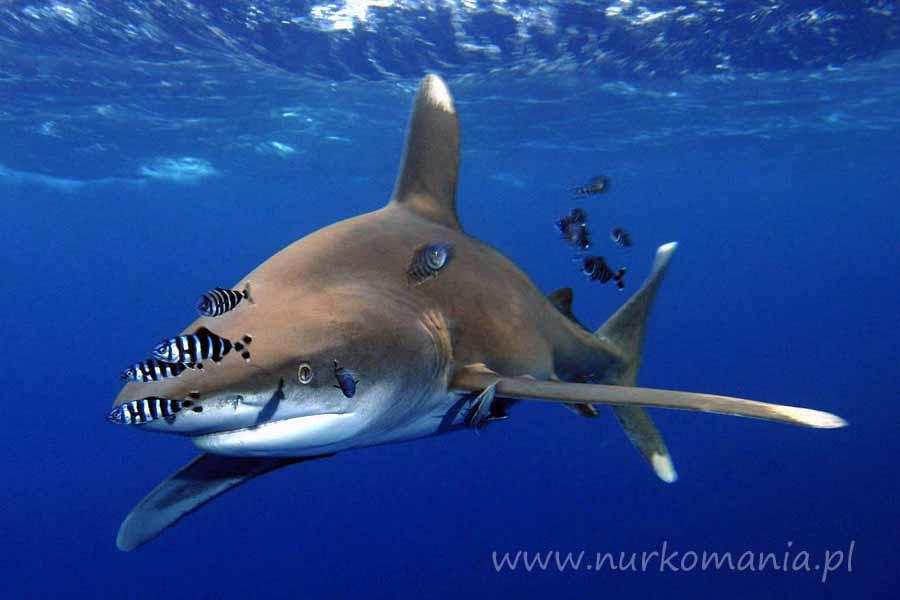 rekin białopłetwy (Carcharhinus longimanus)