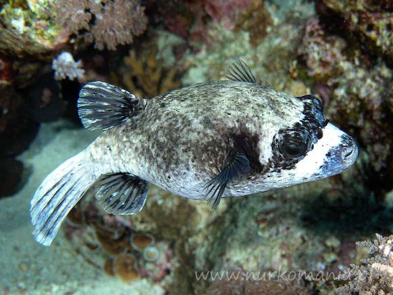 Ryby rozdymkowate (Tetraodontidae)