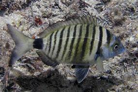 Sargus (Diplodus sargus sargus)