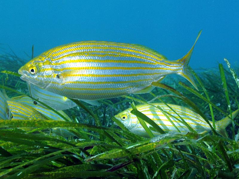 Ryby Sarpa (Sarpa salpa)