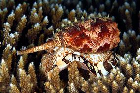 jadowite ślimaki morskie