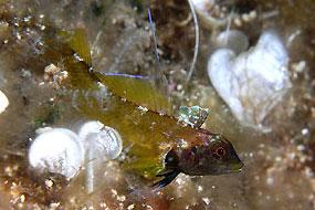 Ślizg skoczek (Trypterigion tripteronotus)