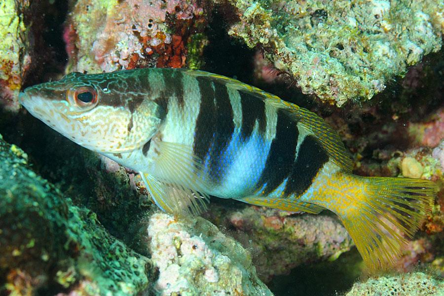 Ryby Strzępiel pisarz (Serranus scriba)