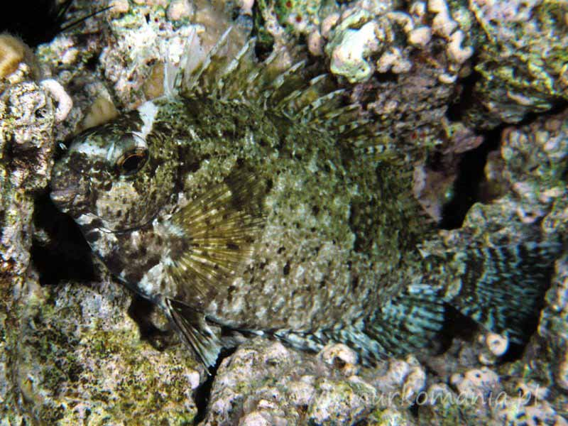 Syganowate (Siganidae)