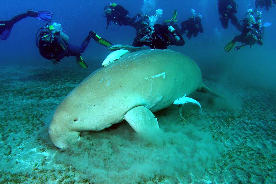 Diugoń (Dugong dugon) - syreny