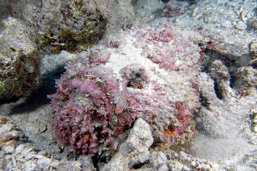 szkaradnica (Synanceia verrucosa)