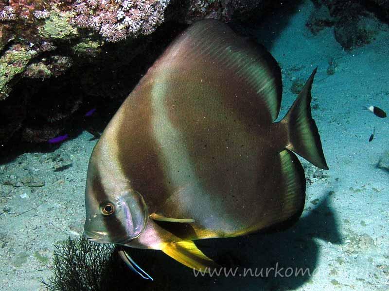 Ryby szpadelkowate (Ephippidae)