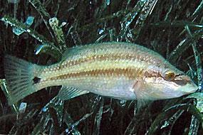 Wargacz tynka (Symphodus tinca)