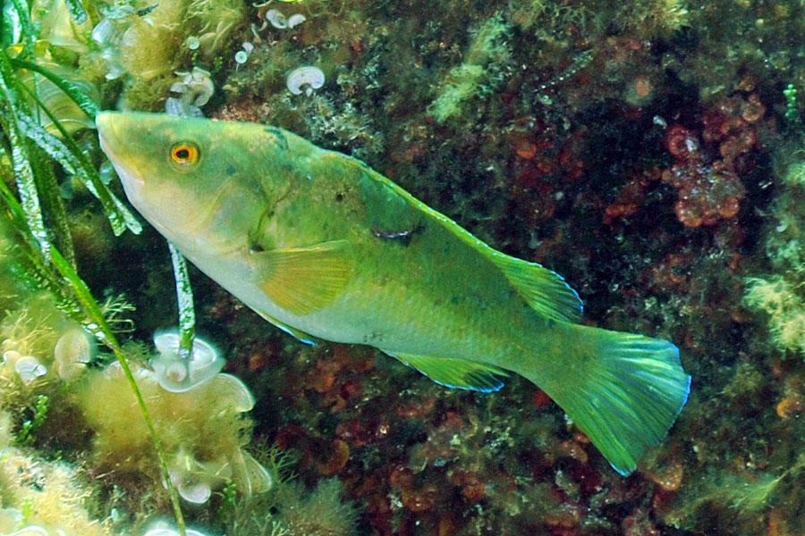 Ryby Wargacz zielony (Labrus viridis)