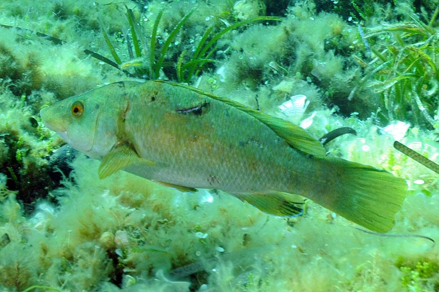 Wargacz zielony (Labrus viridis)