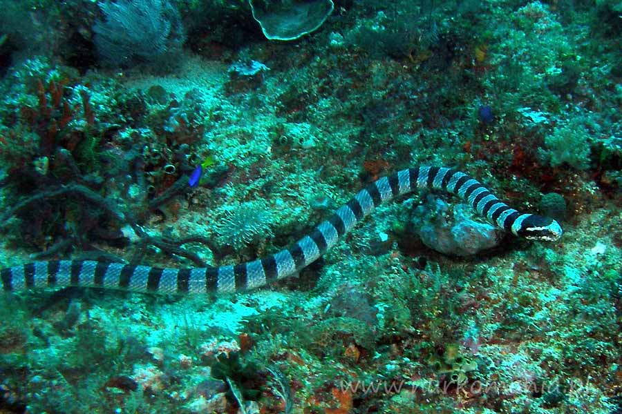 wąż morski