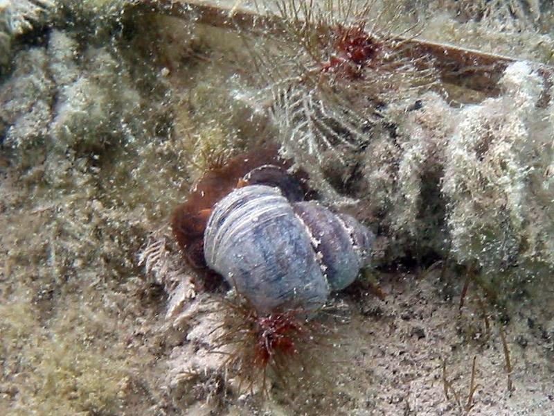 Zagrzebka pospolita (Bithynia tentaculata)