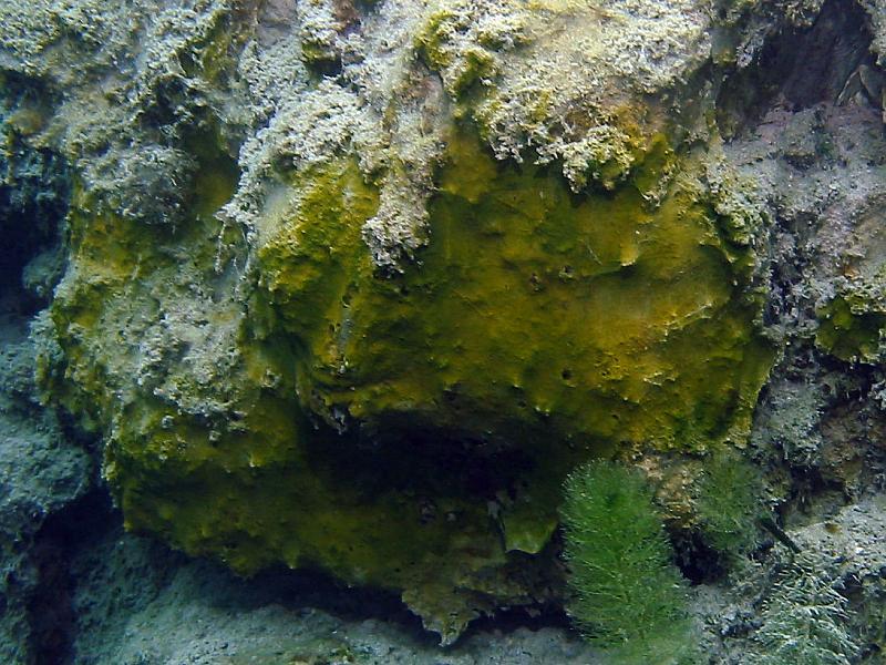 Sinice (Cyanophyta)