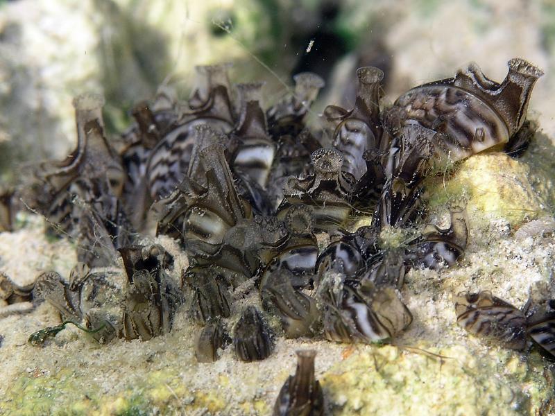 Racicznica (Dreissena polymorpha)