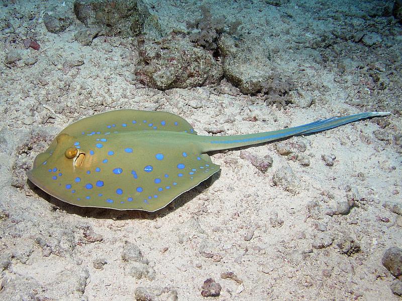 Ogończowate (Dasyatidae)