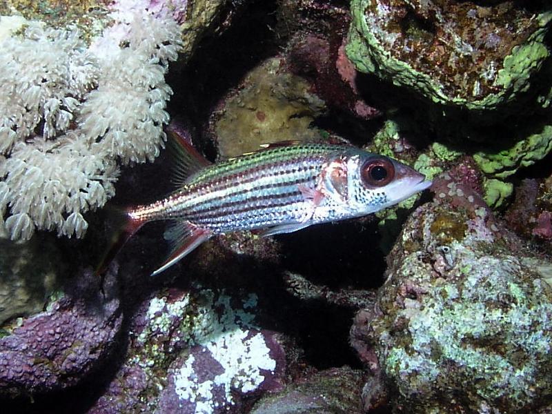 Hajdukowate (Holocentridae)