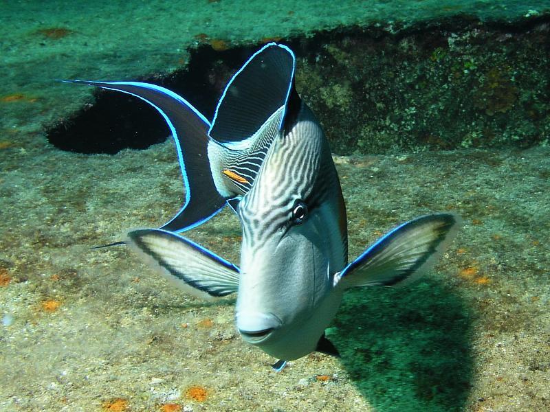 Ryby pokolcowate (Acanthuridae)