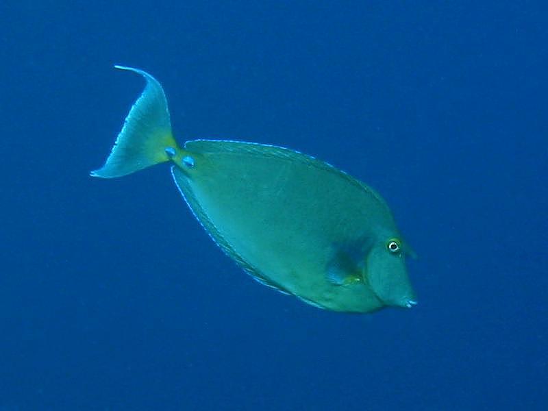 Pokolcowate (Acanthuridae)
