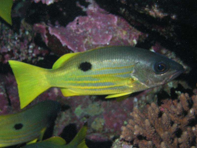 Lucjanowate (Lutjanidae)