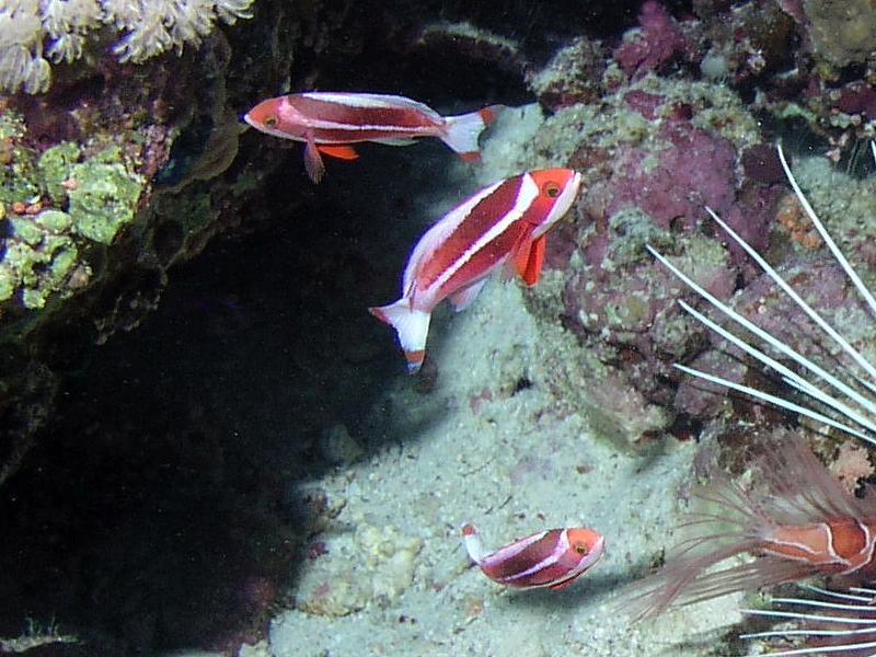 Strzęmpielowate (Serranidae)