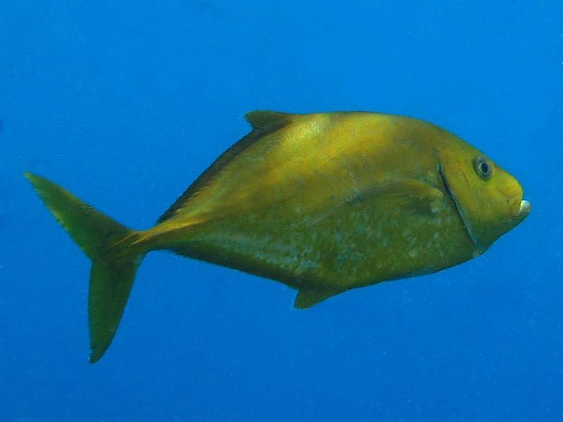 Ryby ostrobokowate (Carangidae syn. Apolectidae)