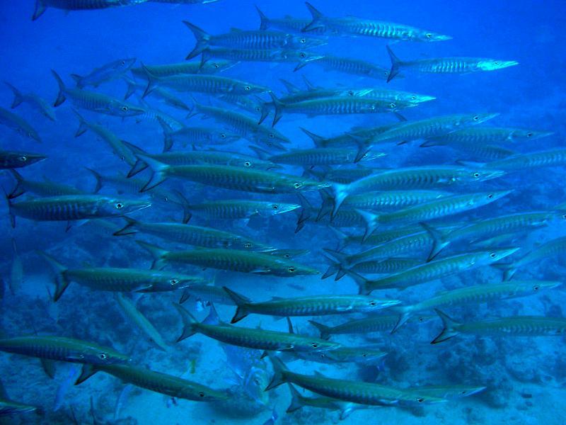 Ryby barakudowate (Sphyraenidae)