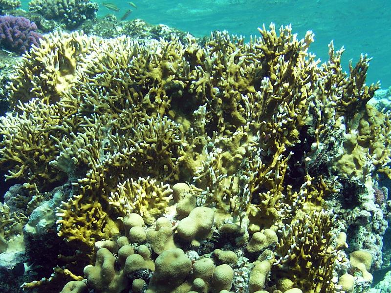 Millepora dichotoma - Fire coral