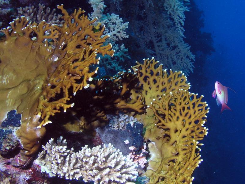 Koral millepora (Milleporidae)